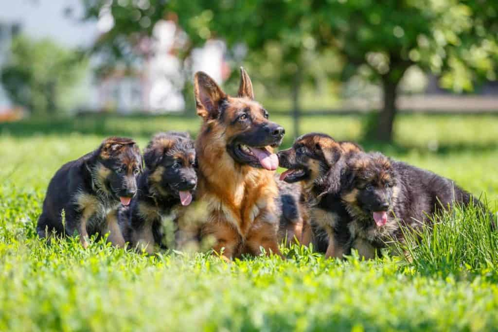 How To Choose The Right German Shepherd Puppy From A Litter The German Shepherder