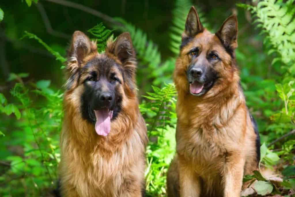 Should You Get A Male Or Female German Shepherd The German Shepherder