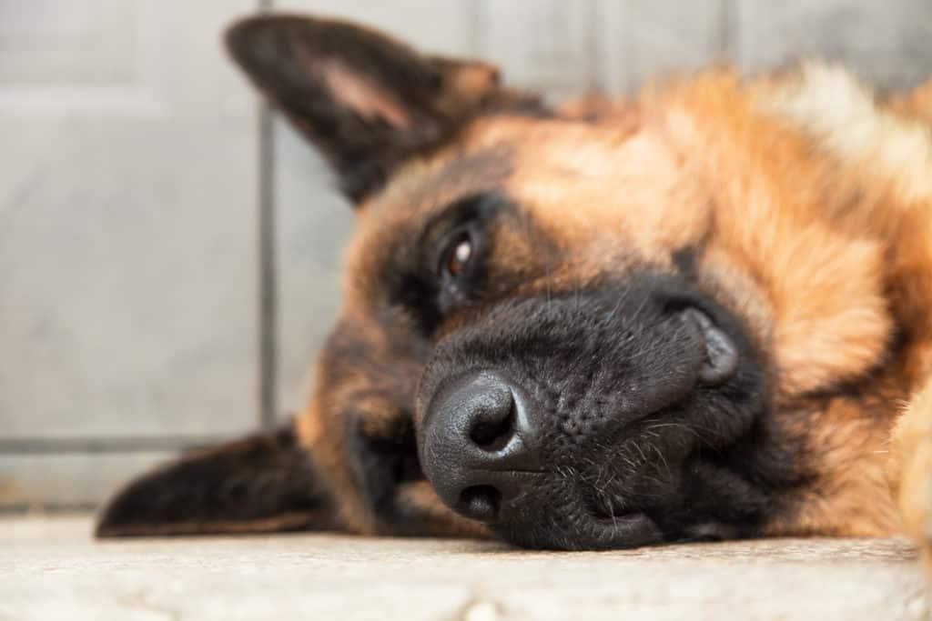 bored looking german shepherd