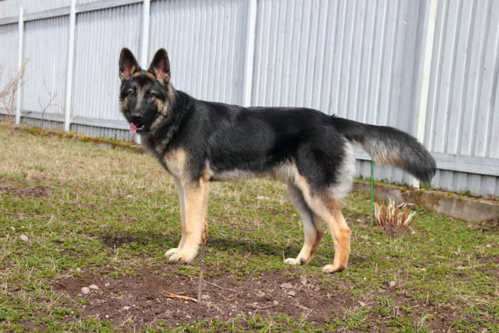 GSD in fenced in yard