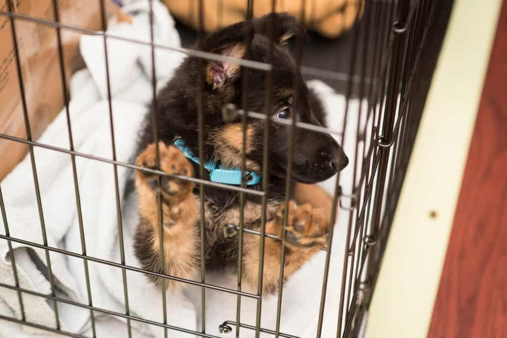 GSD puppy in a crate missing its owner