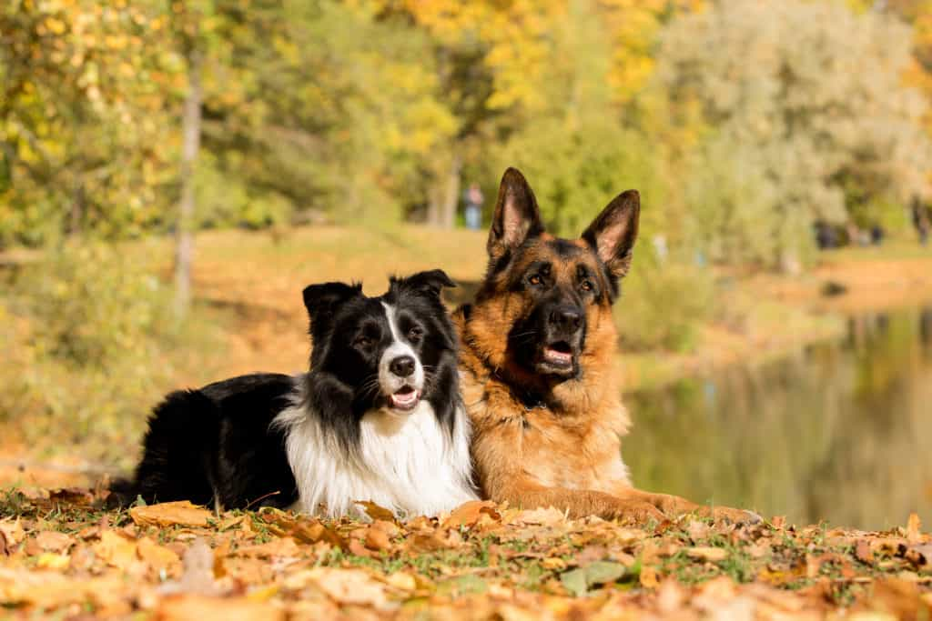 GSD and Border Collie
