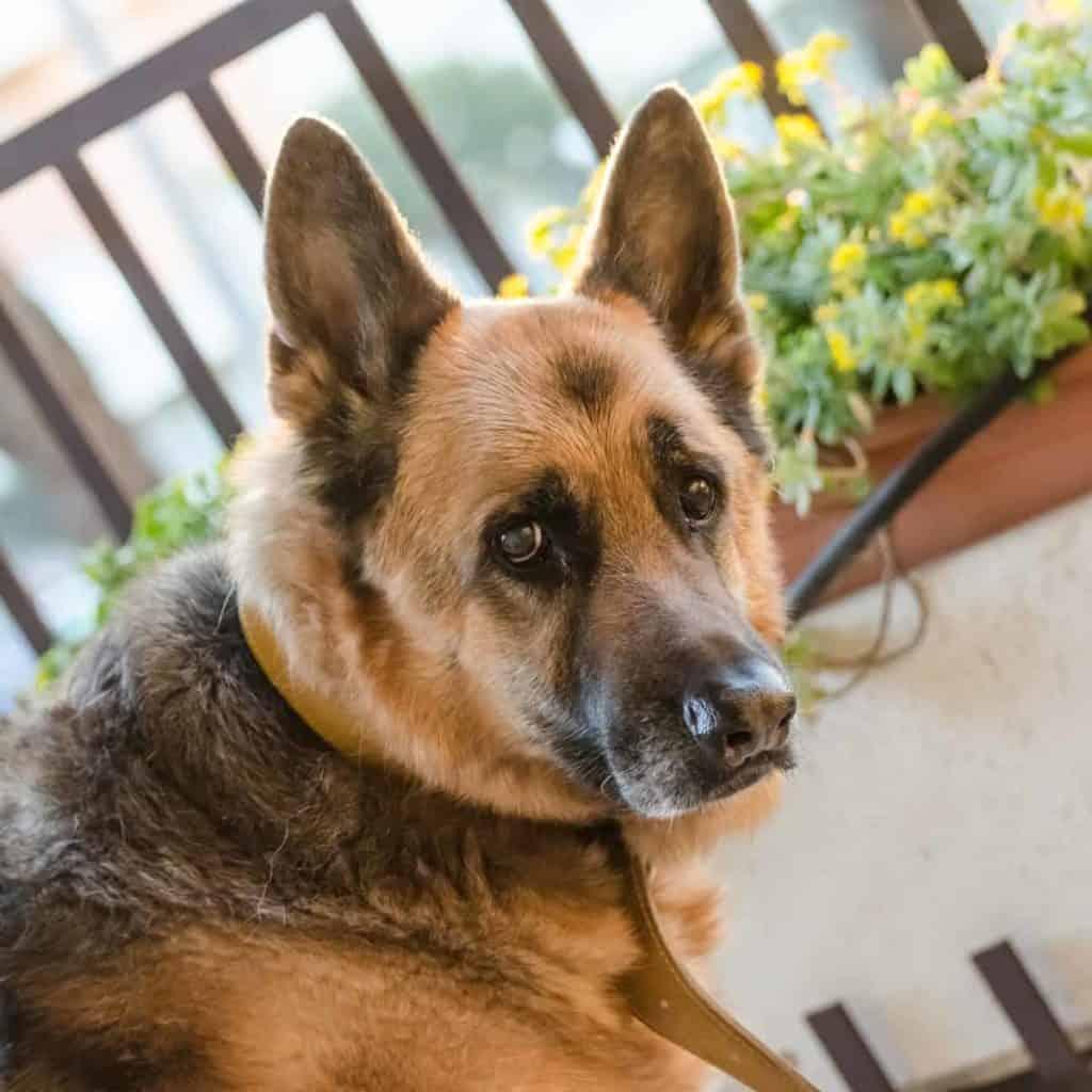 german shepherd looking at you
