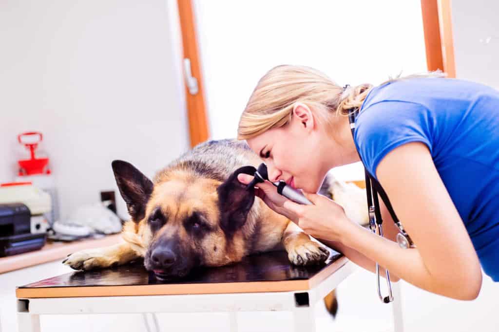 dog getting an ear exam