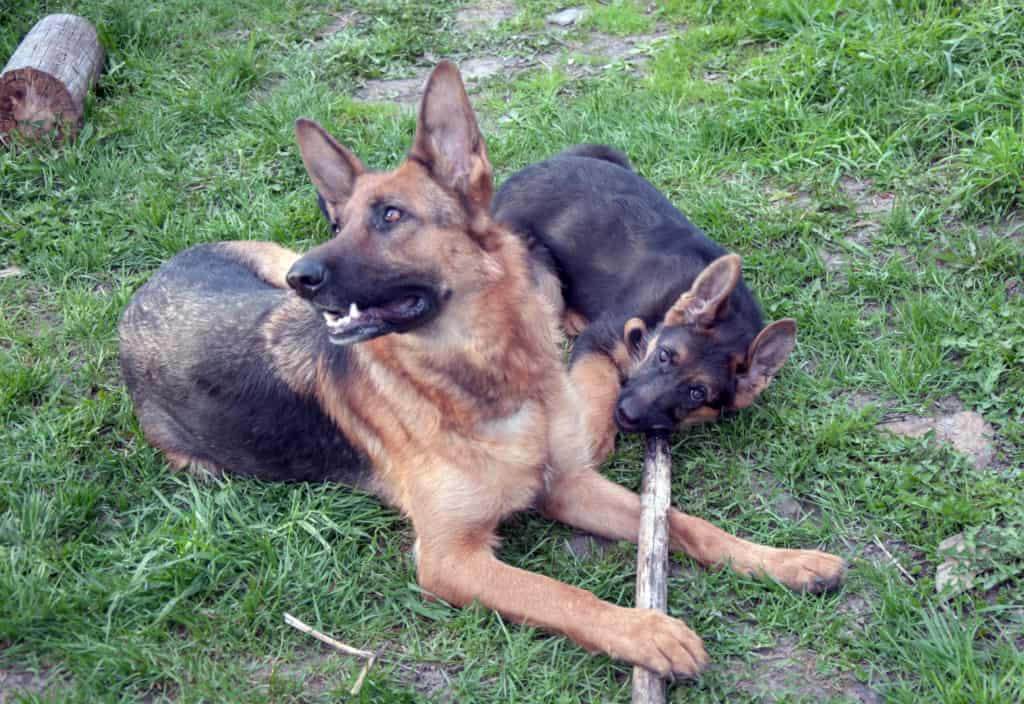 puppy and adult gsd
