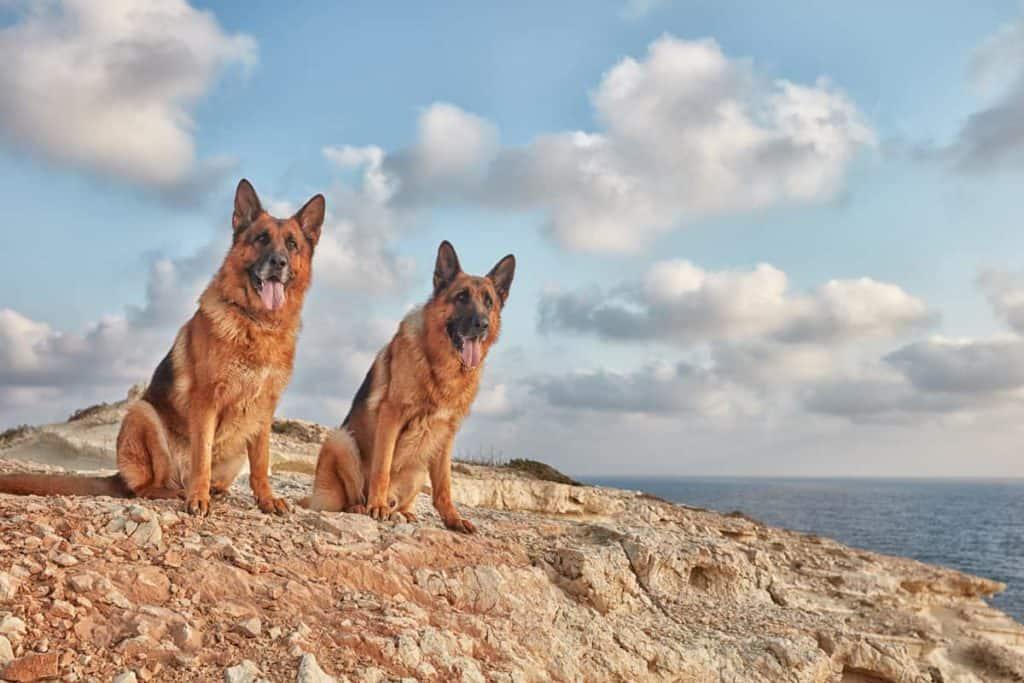 two male german shepherds