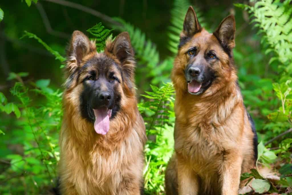 two gsds in park