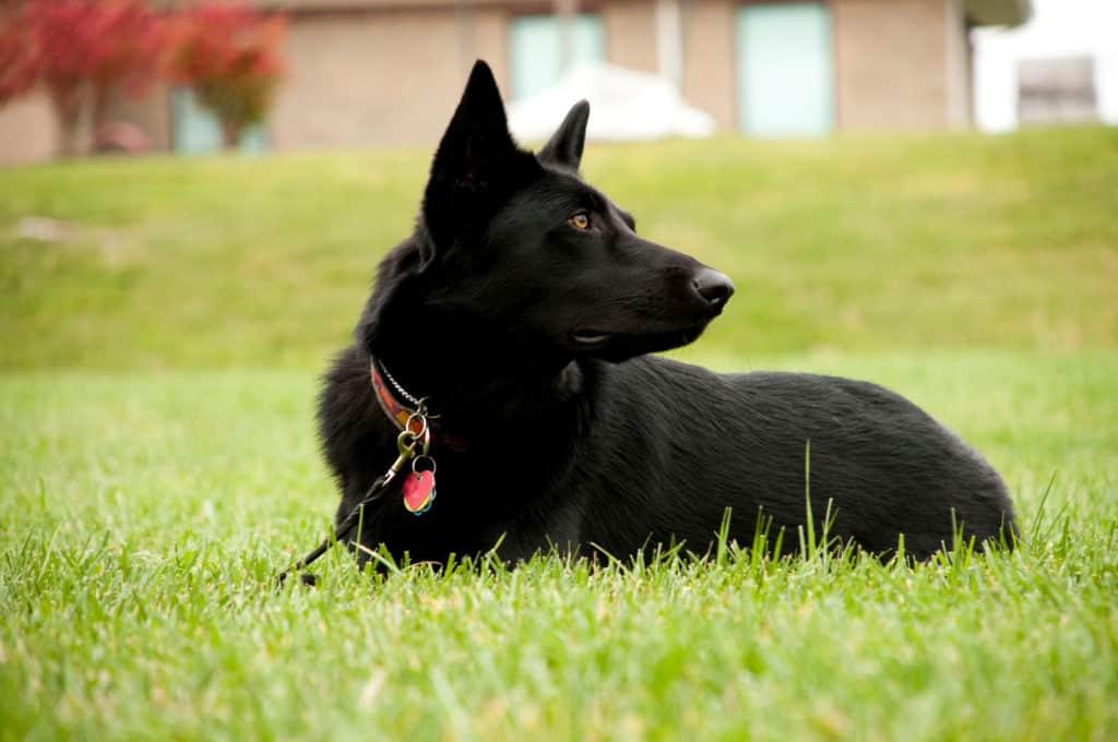 black GSD in grass