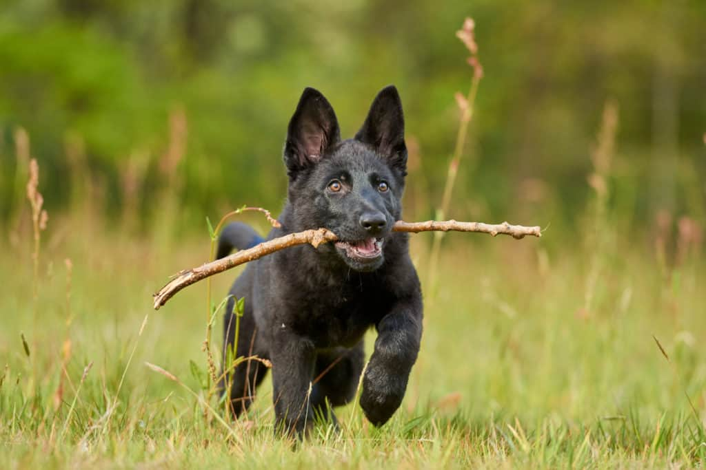 black GSD puppy with stick