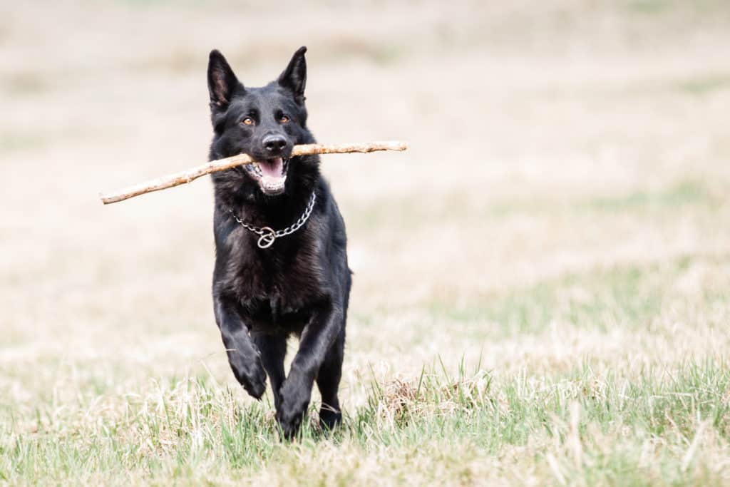 black GSD running with stick