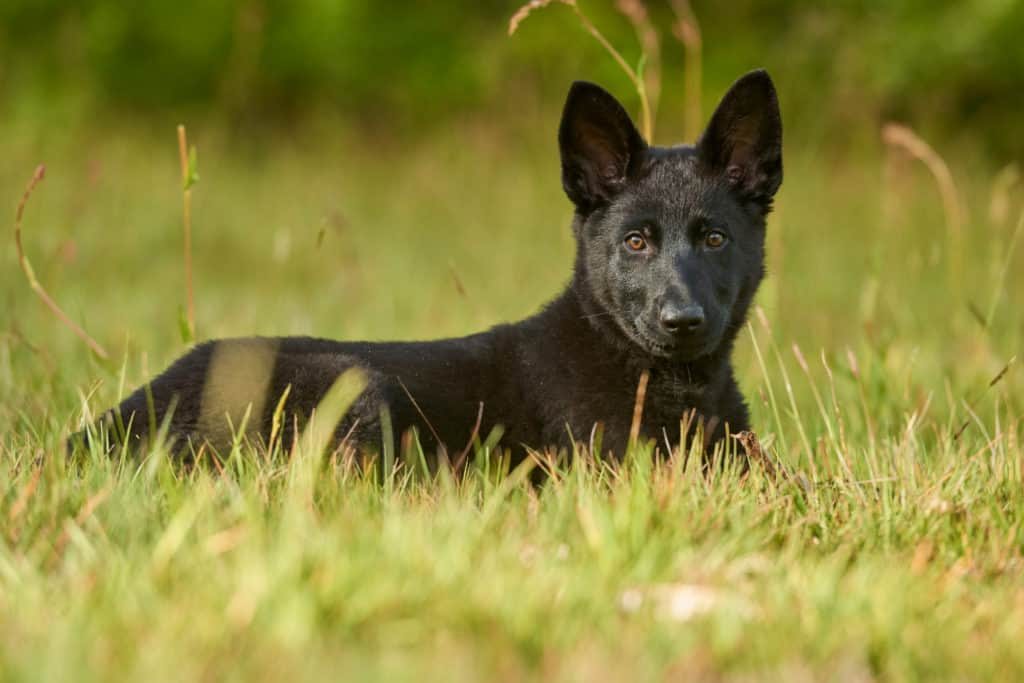 black GSD puppy in grass