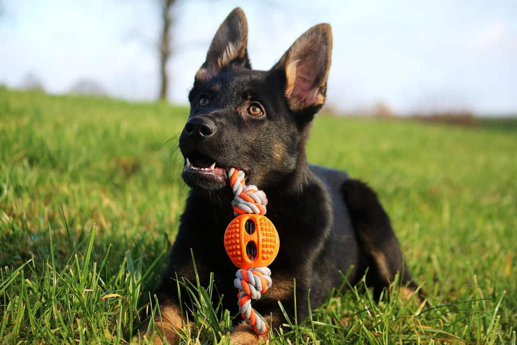 GSD puppy with toy