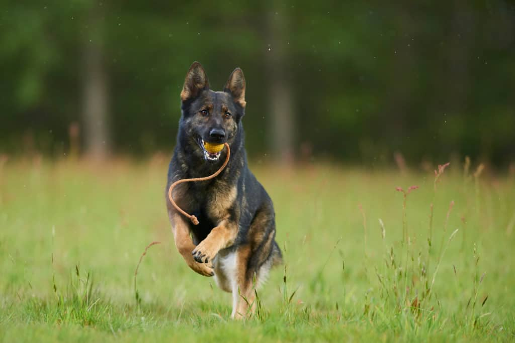 GSD running with toy