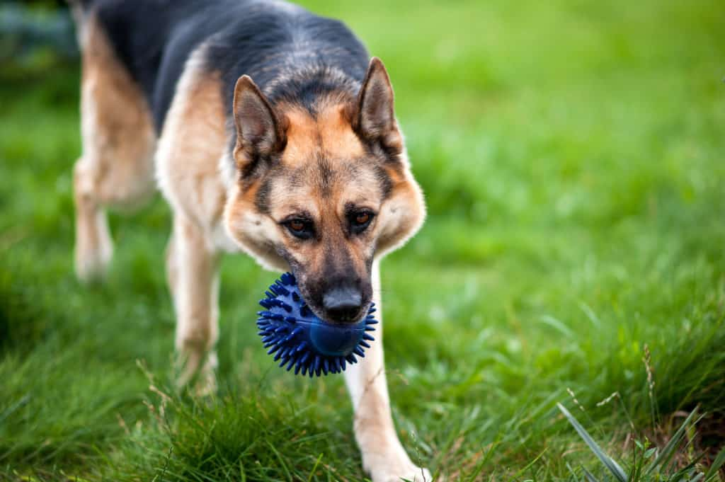 GSD with blue toy