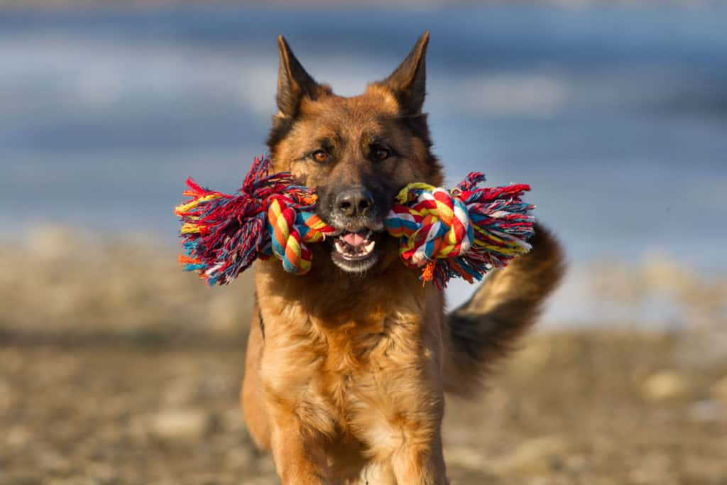 GSD running with colorful toy