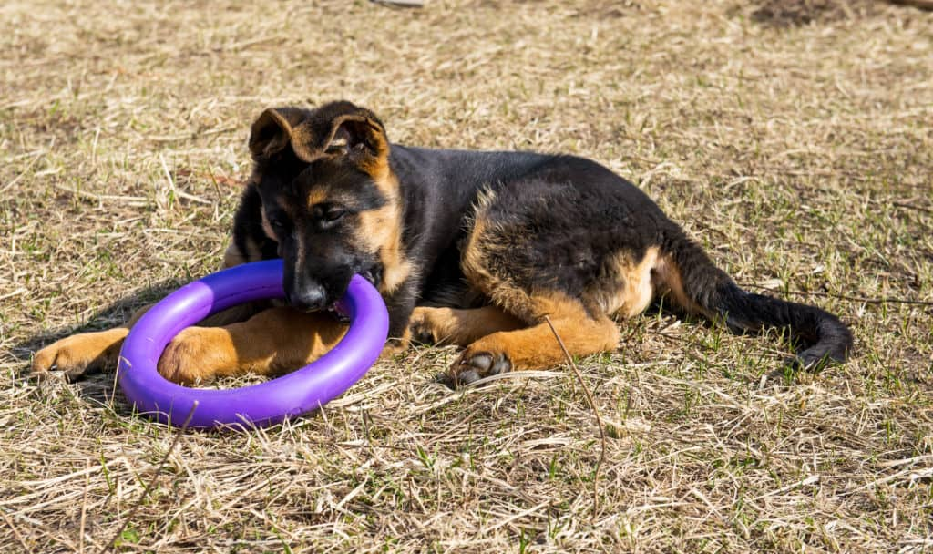 GSD puppy with toy rubber ring
