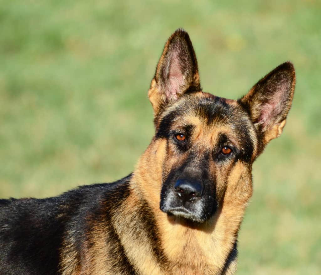 GSD looking