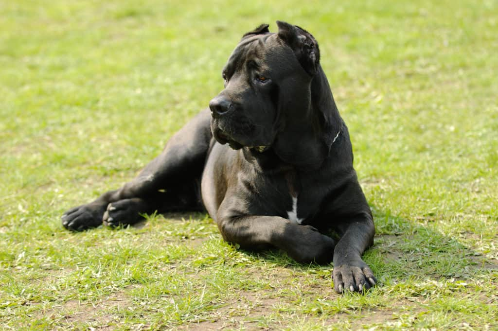 cane corso sitting on grass