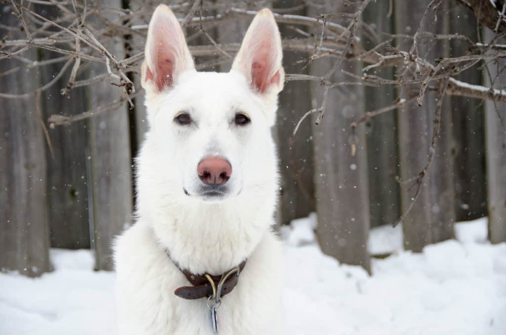 white gsd in snow