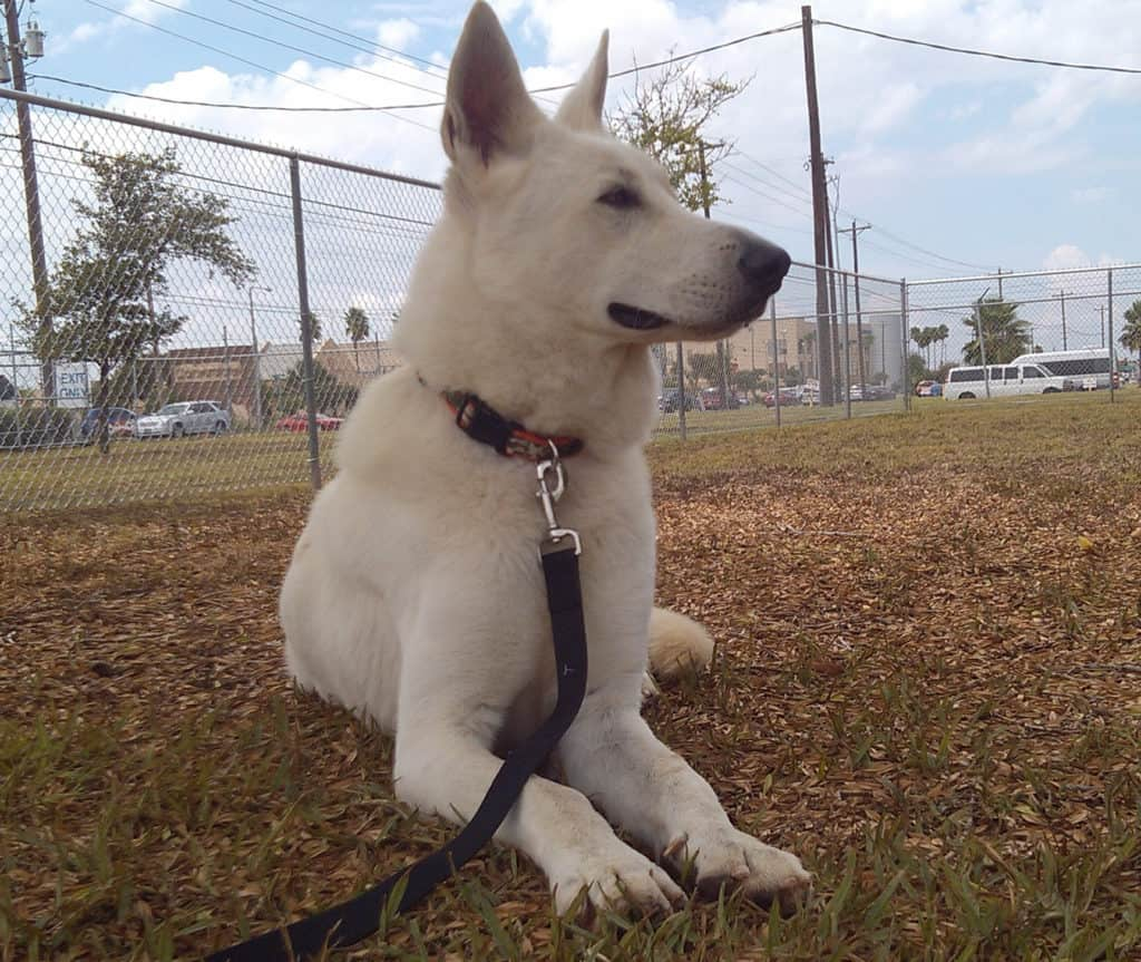 white gsd leash
