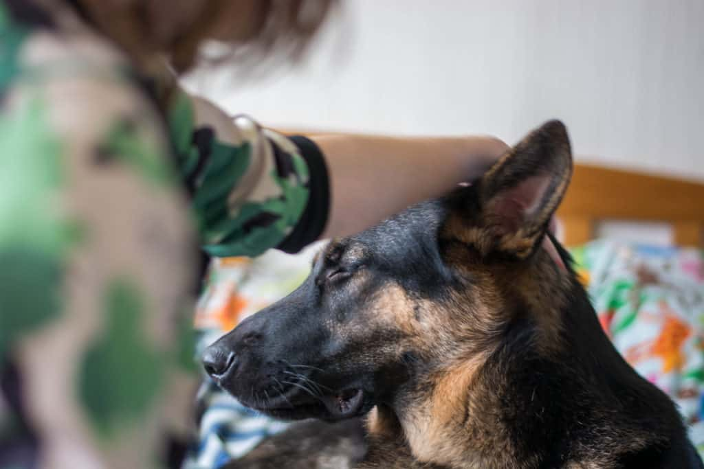 GSD being petted