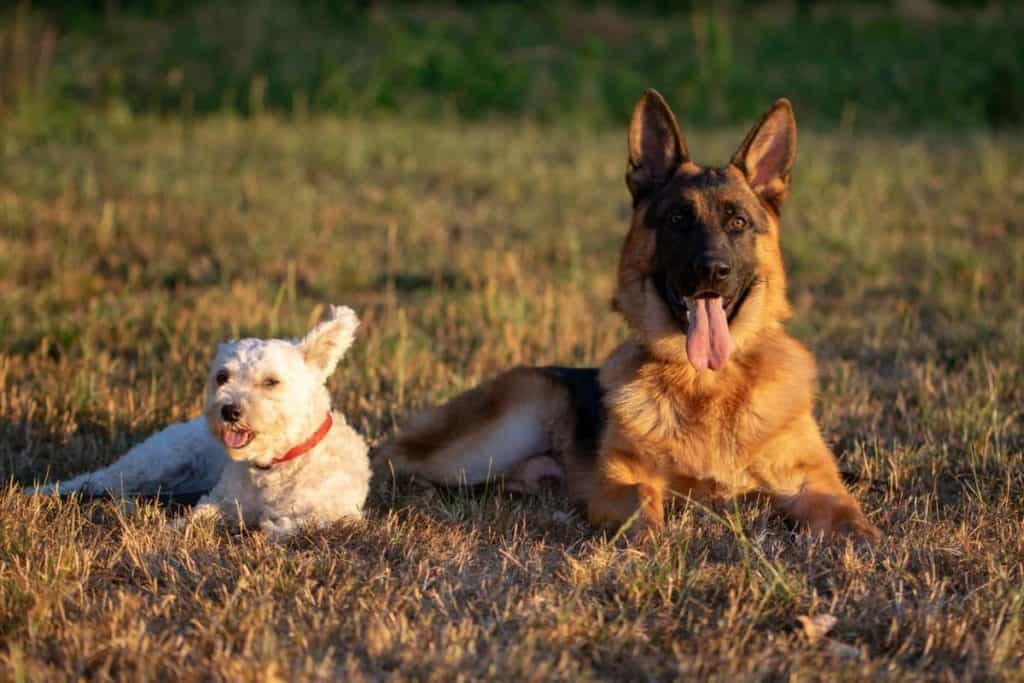 gsd and little white dog in field