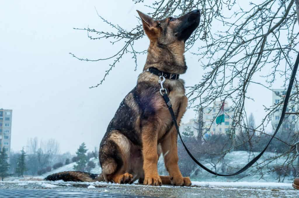 gsd puppy on leash looking up at owner who is out of frame