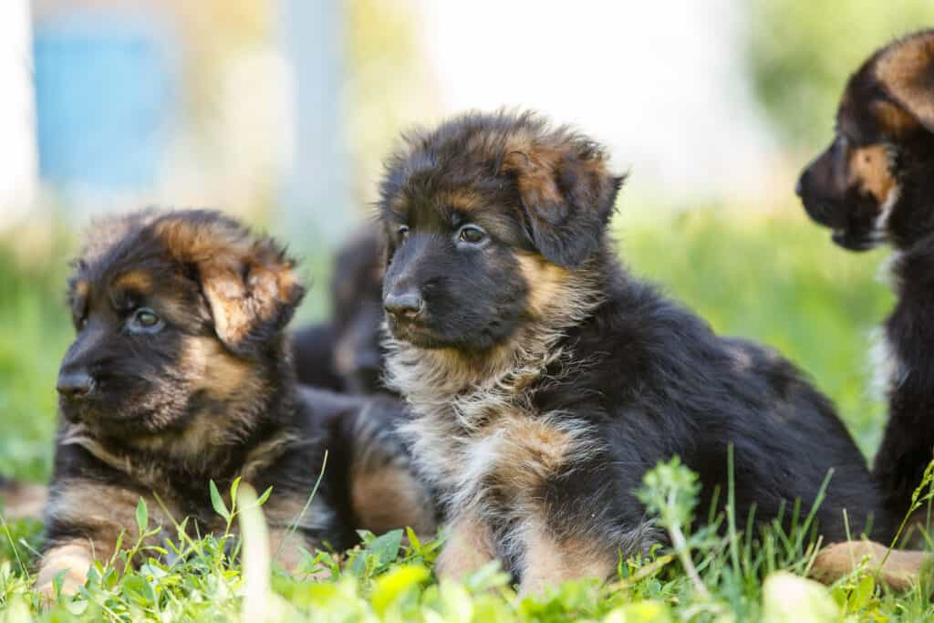 gsd puppies together