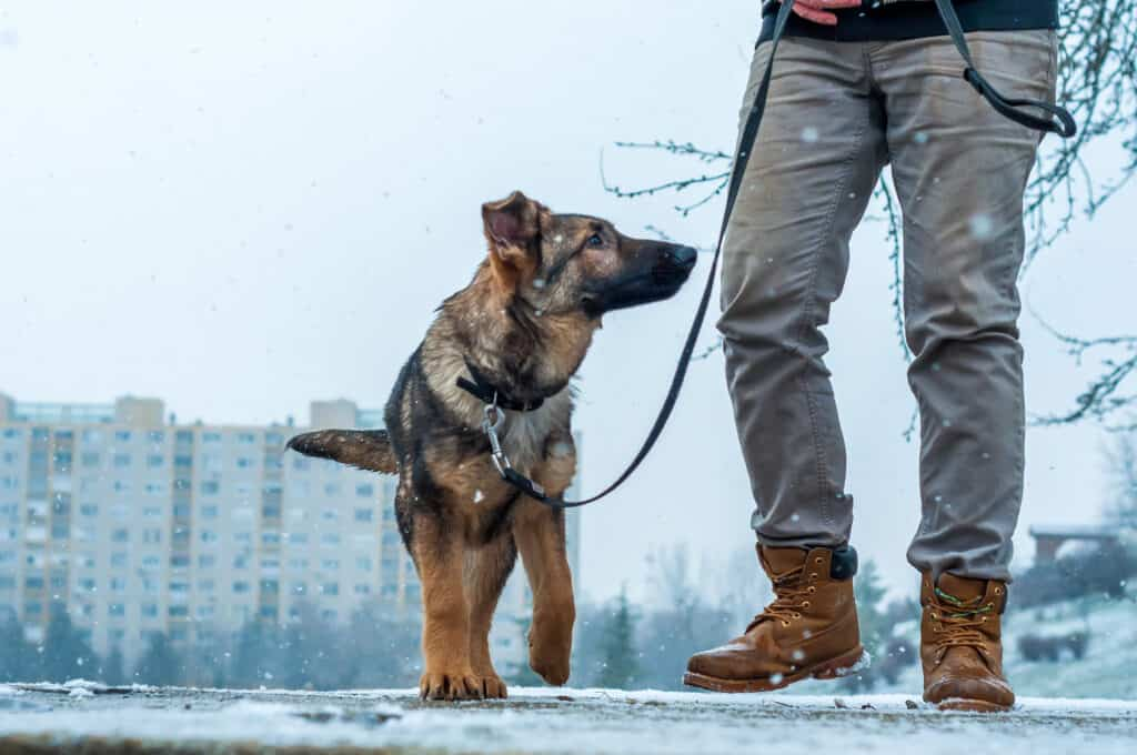 walking with gsd