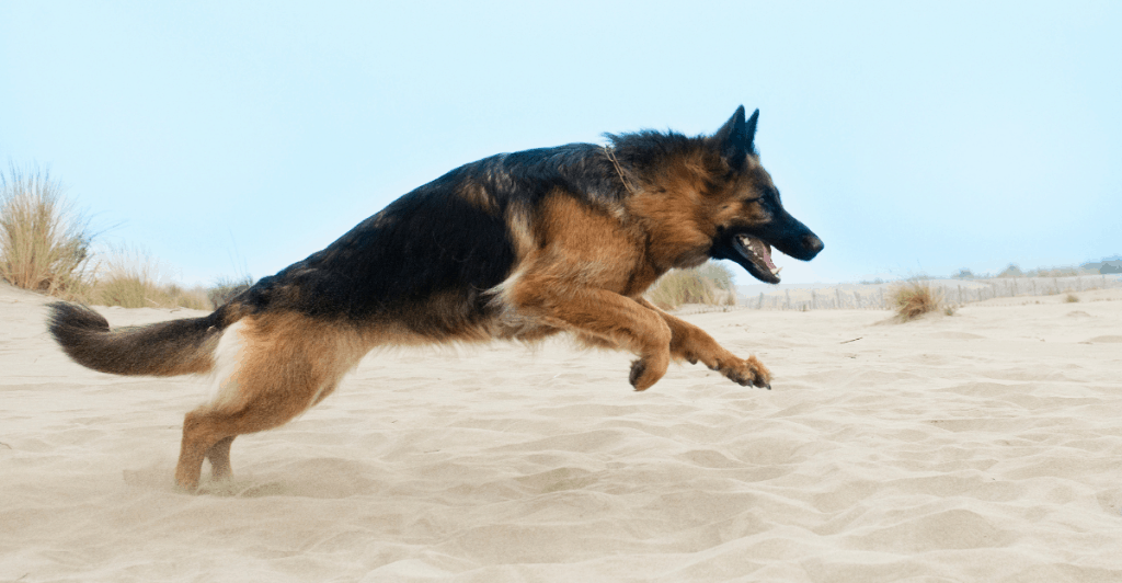 german shepherd running in sand