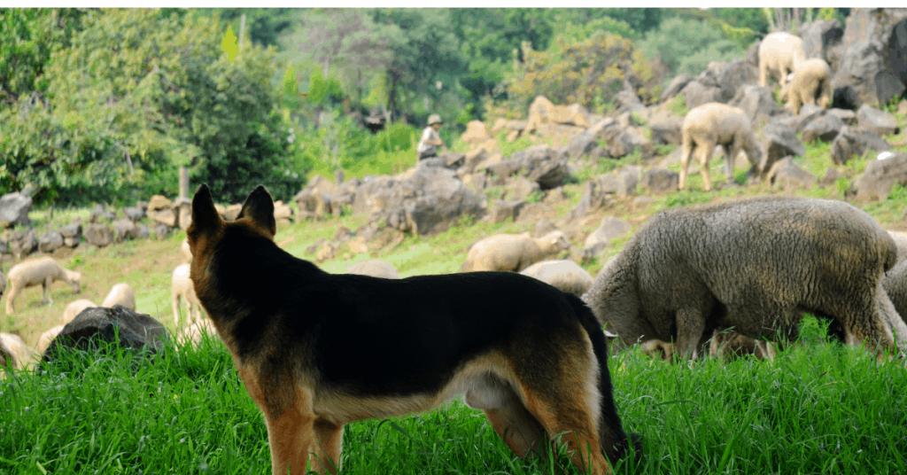 gsd tending to sheep