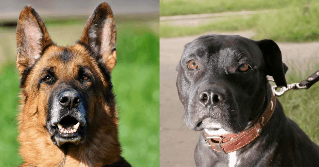 german shepherd and pit bull side by side