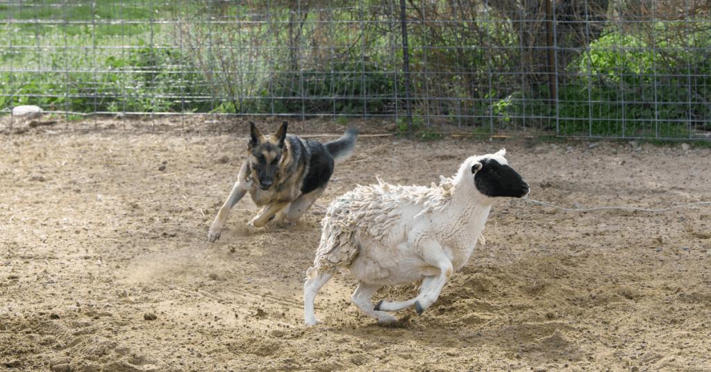 gsd herding sheep