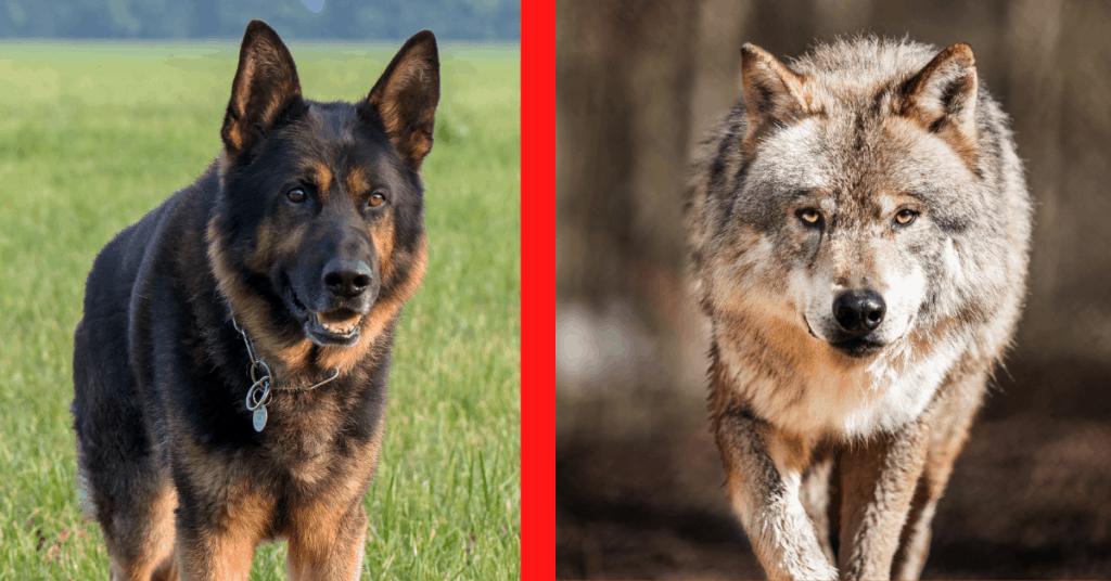 German Shepherd and wolf side-by-side