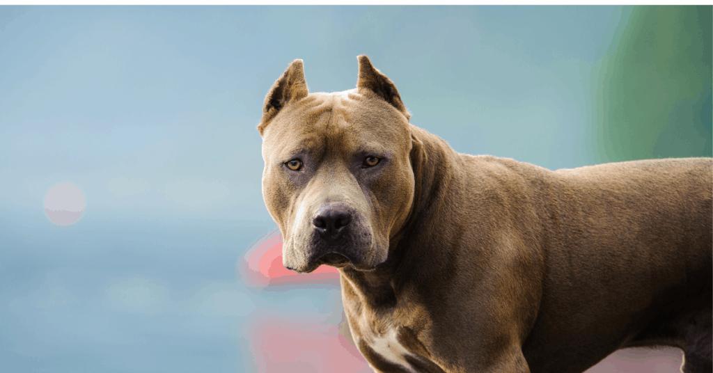 pitbull staring at you