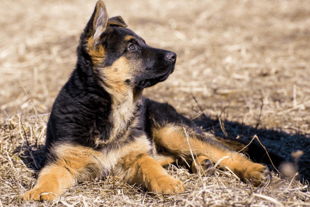 german shepherd puppy looking up