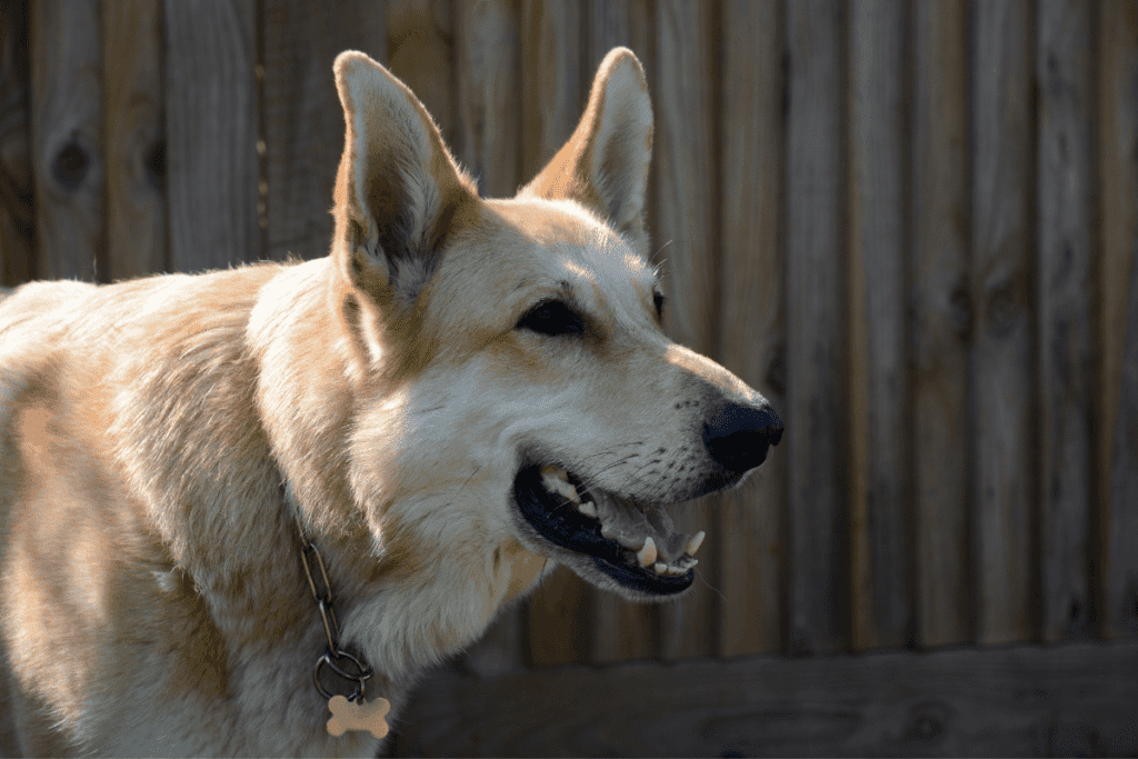 blonde german shepherd