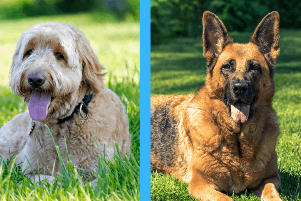 Goldendoodle and German Shepherd side-by-side