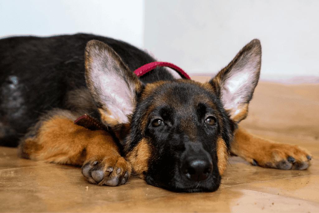 german shepherd puppy with ears up