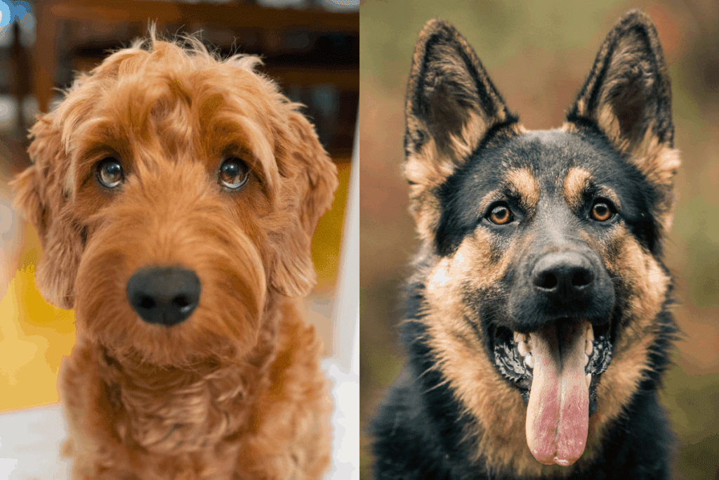 German Shepherd and Goldendoodle side by side