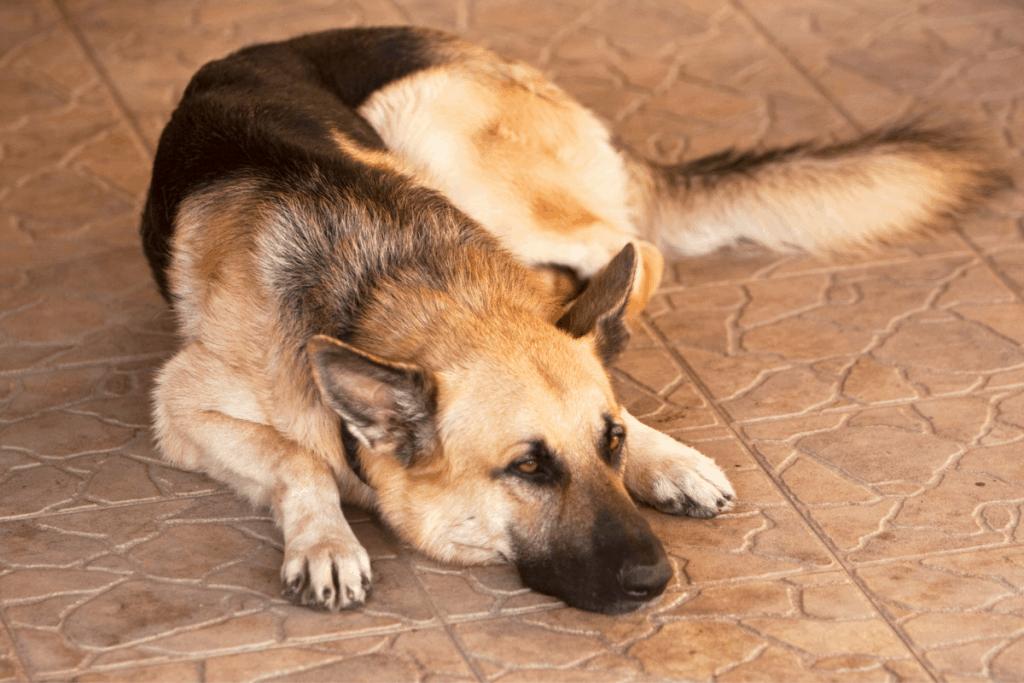 german shepherd lying on tile floor