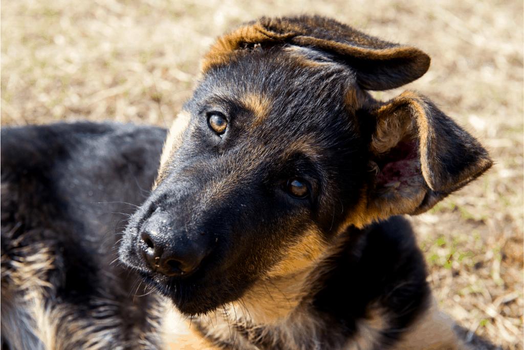 German Shepherd puppy head tilt