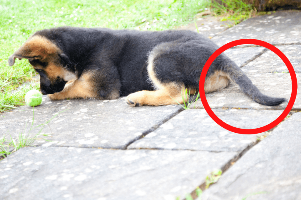 german shepherd puppy with tail circled in red