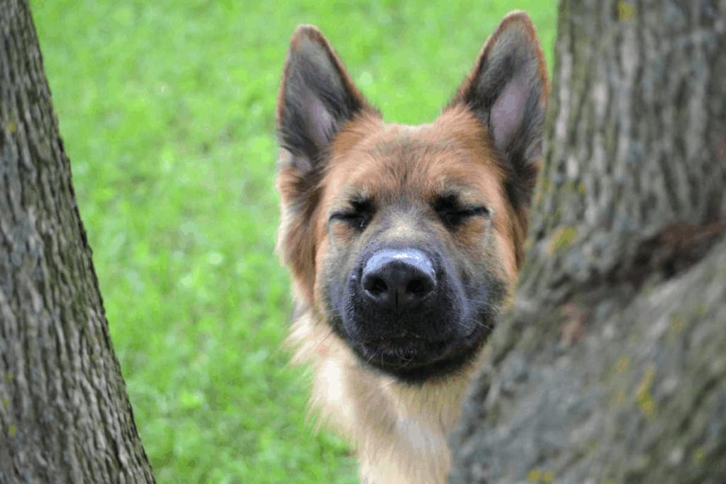 German Shepherd sneezing