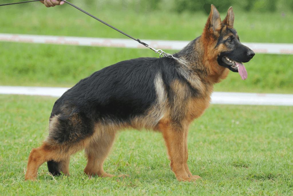 German Shepherd dog standing
