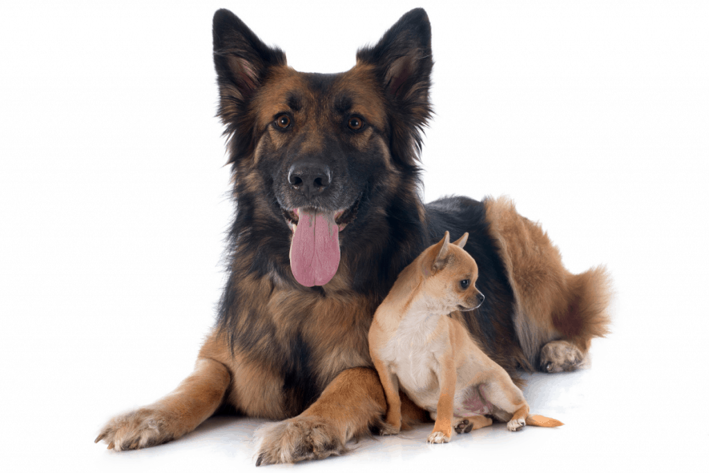 German Shepherd and Chihuahua sitting
