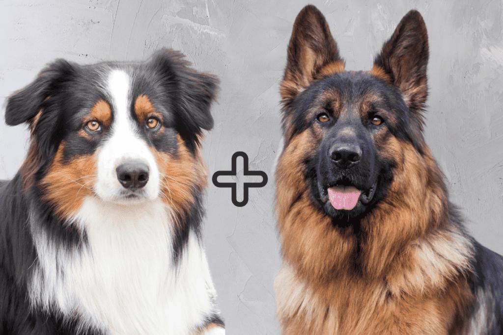 German Shepherd and Australian Shepherd together