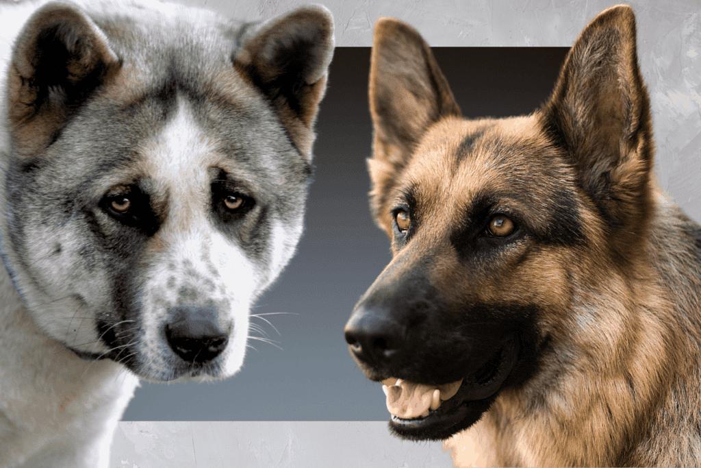Akita and German Shepherd
