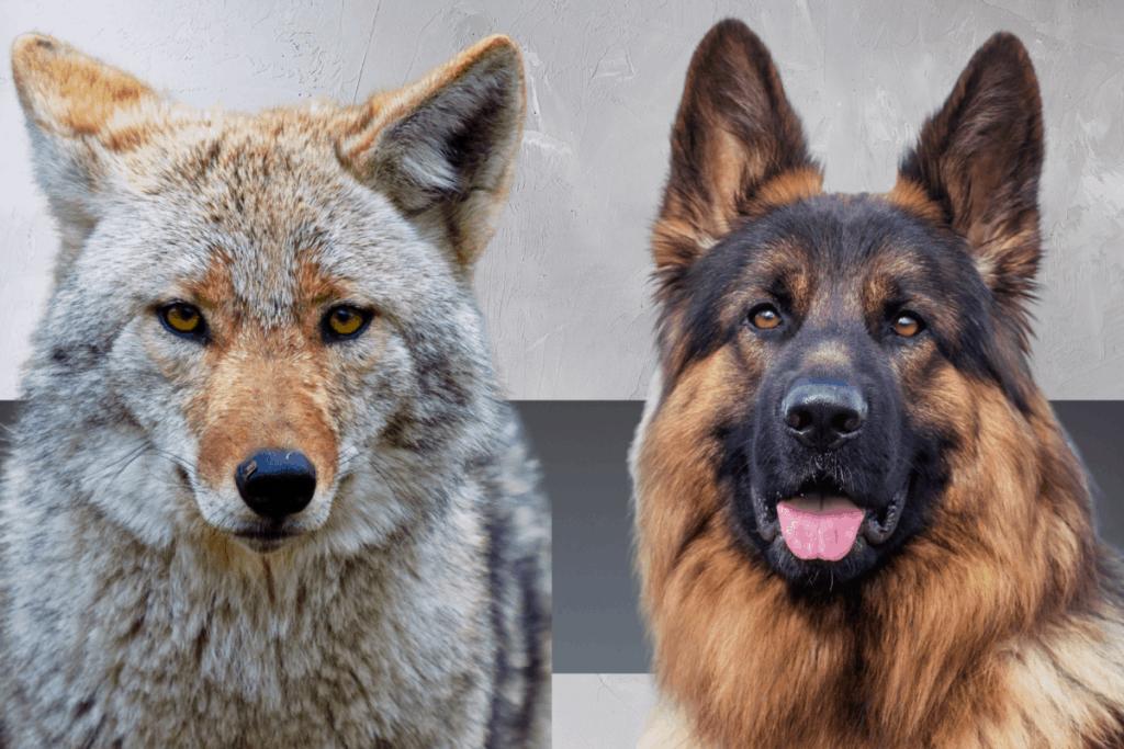 German Shepherd and Coyote