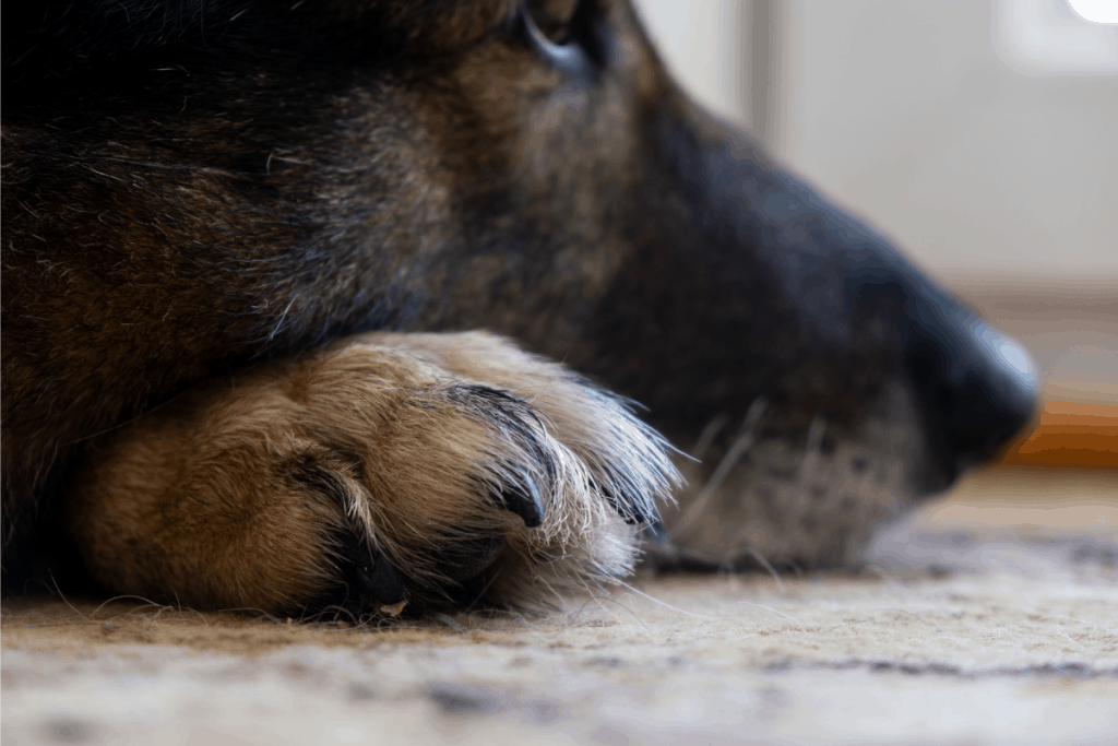 German Shepherd paw